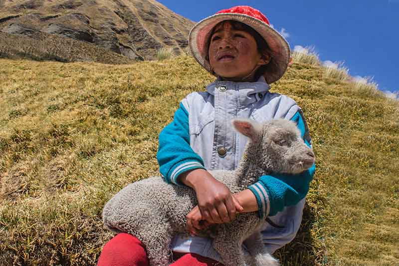 Child Alpaca Huaraz